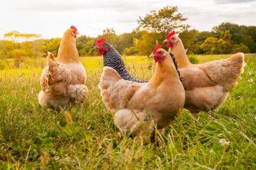 Tiergerechteres Geflügelfleisch-Sortiment wird ausgebaut